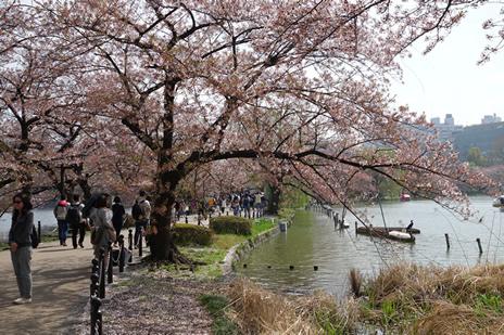 4月6日 花の姿がまばらに 上野公園