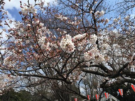 3月27日(日)咲き始めながらも花見日和の上野公園