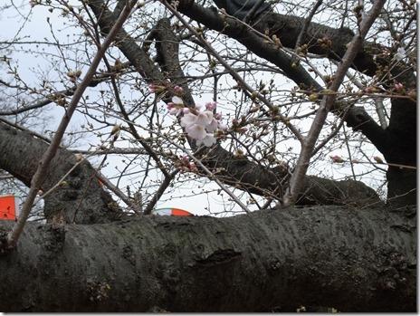 開花宣言に伴い、上野桜守の会をご紹介