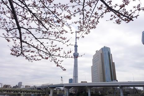 3月26日(土)まだまだ蕾の隅田公園