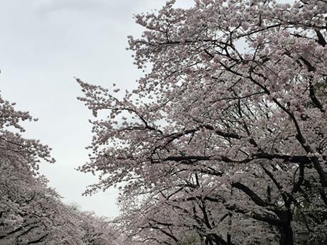 4月4日(月)今が見どころの満開!晴れてほしい上野公園