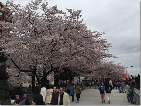 4月5日(火)まだまだ満開!隅田公園