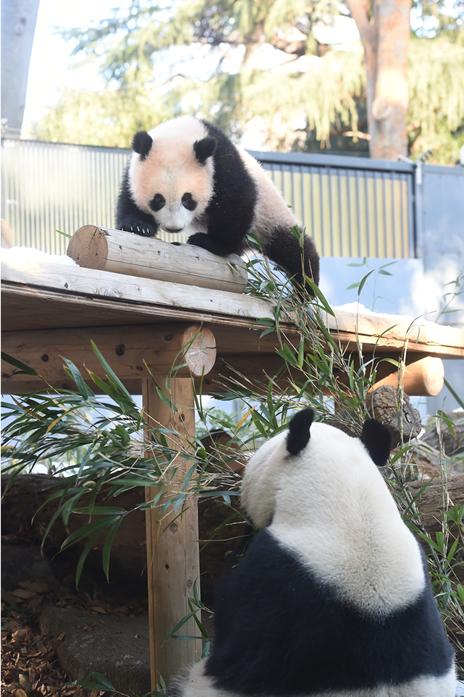 上野動物園のシャンシャンの観覧方法が変わります。