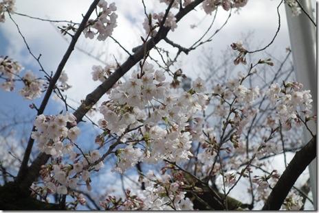 3月23日(金) 隅田公園の桜もかなり咲いていました
