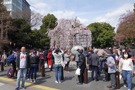 3月24日(土)上野公園は満開の桜