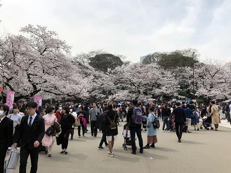 桜満開。お天気晴天。絶好調なお花見日和の上野公園。