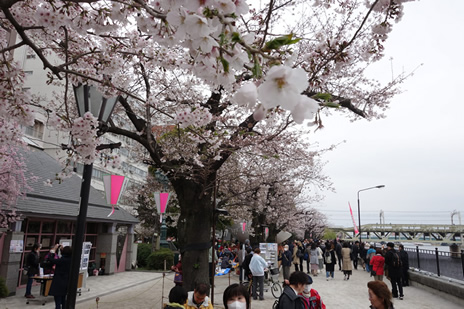 03月30日(土)桜の見頃 -隅田公園-