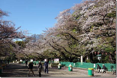 まだサクラは残ってます 上野公園の桜