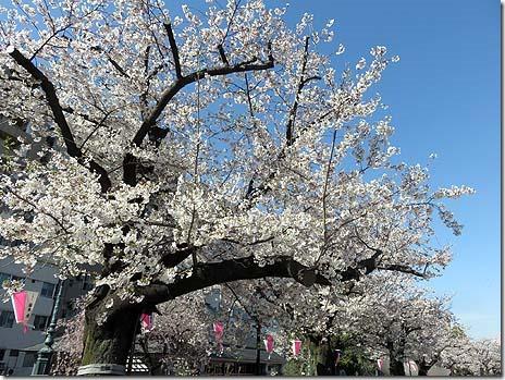 4月5日(金)気温上昇!お花見日和 隅田公園