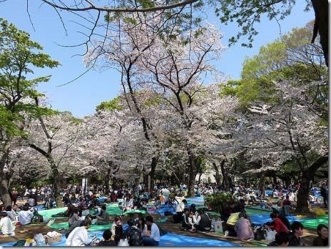 11時すでに宴会始まっています!満開の桜 上野公園
