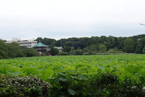 不忍池の蓮が見頃を迎えます。 上野公園 美術館・博物館 混雑情報他